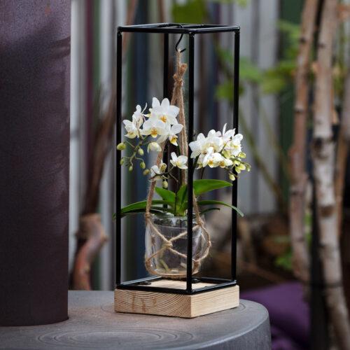 Frame met Tresor orchidee